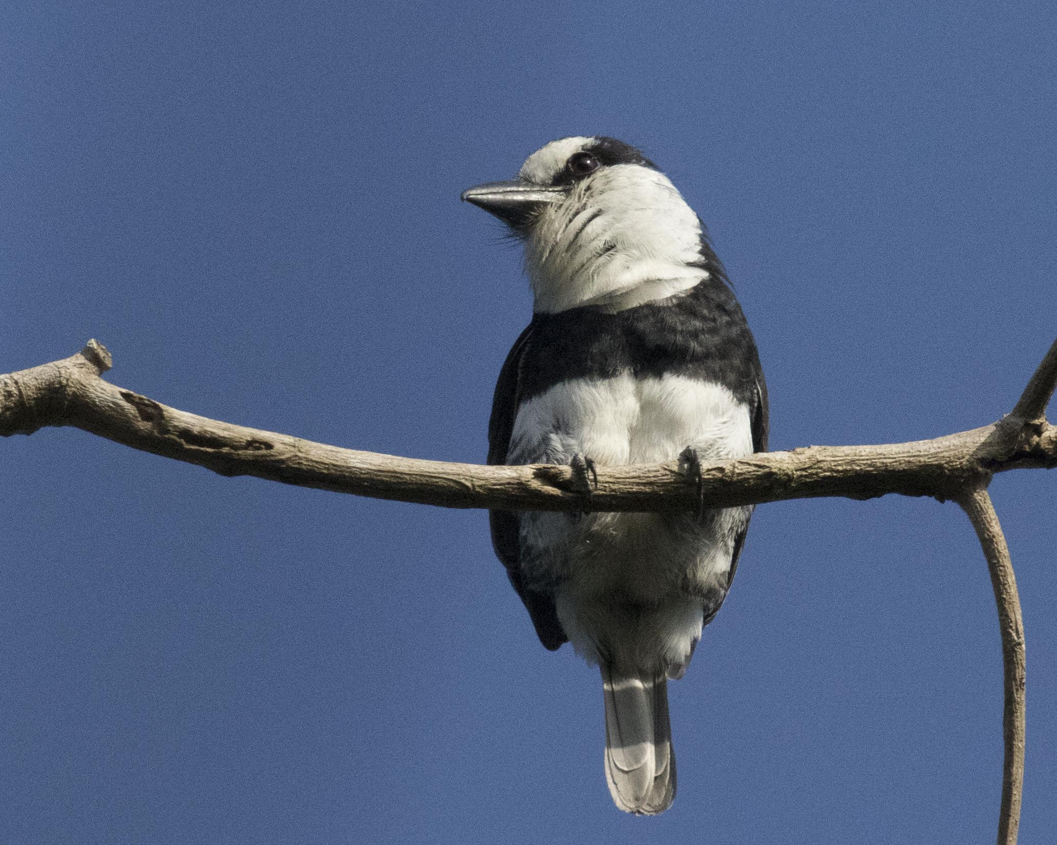 White-necked Puffbird at Tikal, Guatemala