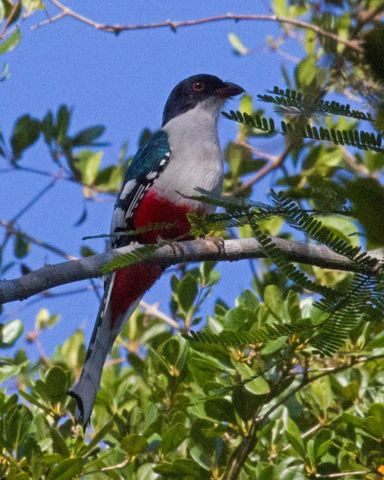 Cuban Trogon - Dixie Sommers