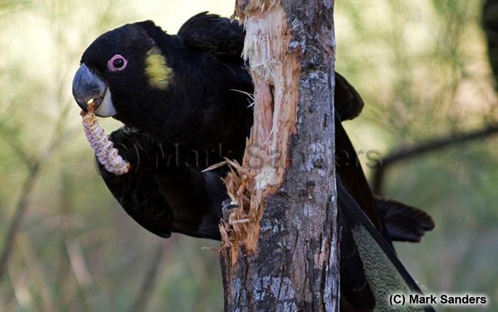 Yellow-tailed Black Cockatoo - Mark Sanders