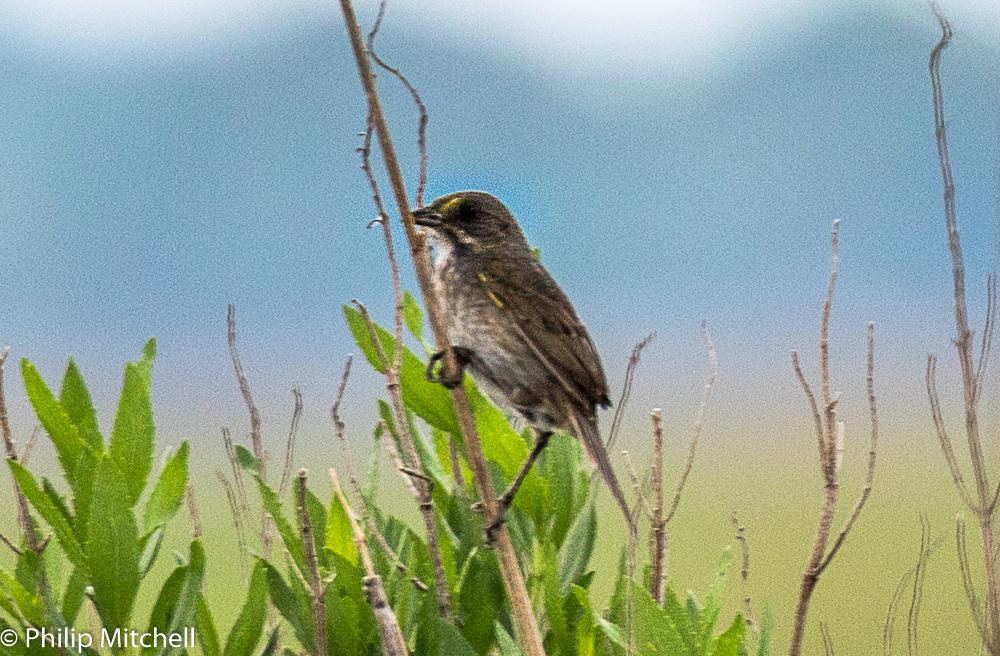 Philip Mitchell - Seaside Sparrow