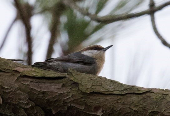Deb Bitton - Brown-headed Nuthatch