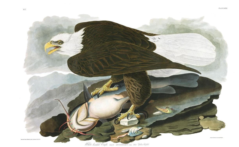 John Audubon - White-headed (Bald) Eagle