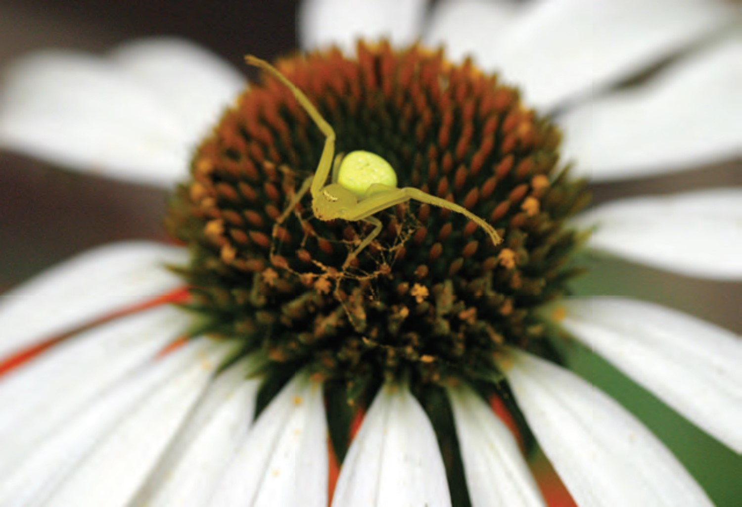 Crab Spider Species
