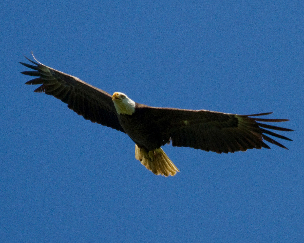 Bald Eagle by Dixie Sommers