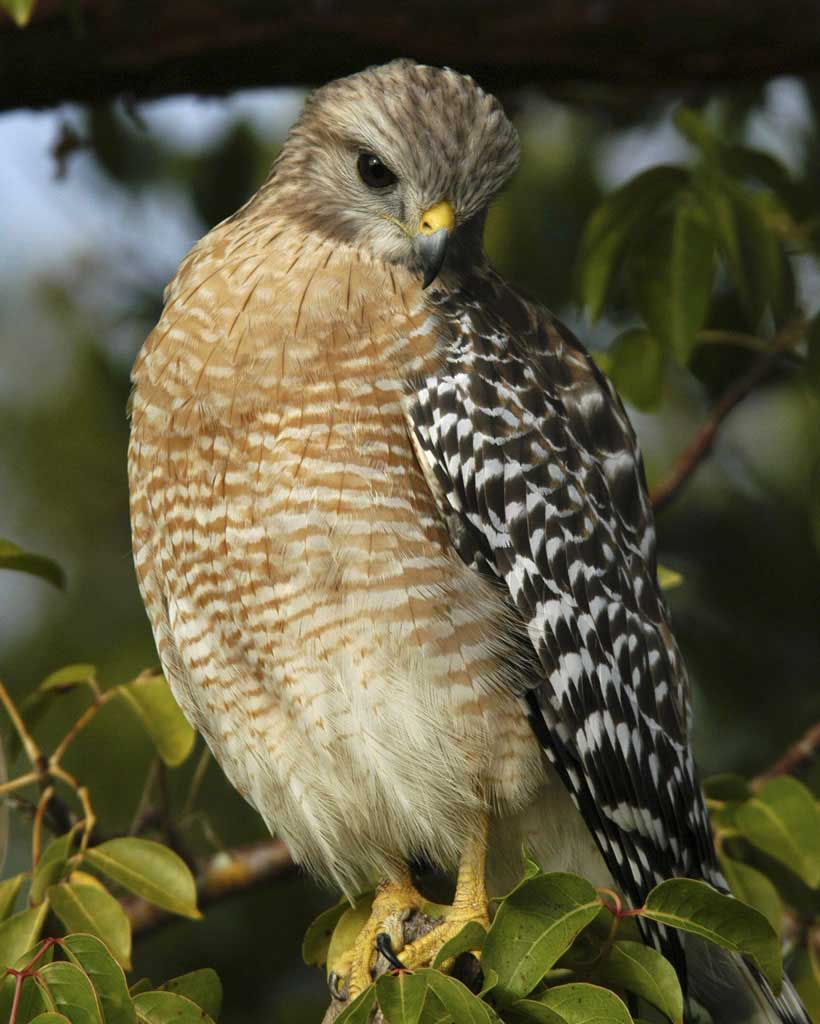 Red-shouldered Hawk (Y)