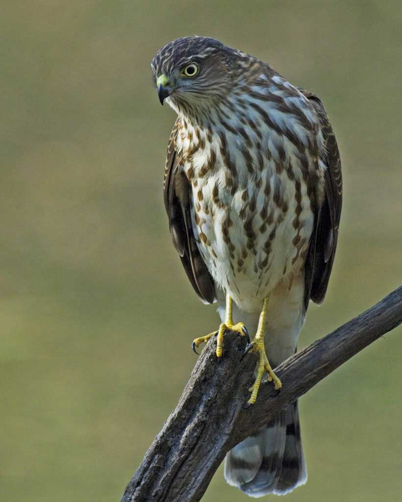 Sharp-shinned Hawk (M)