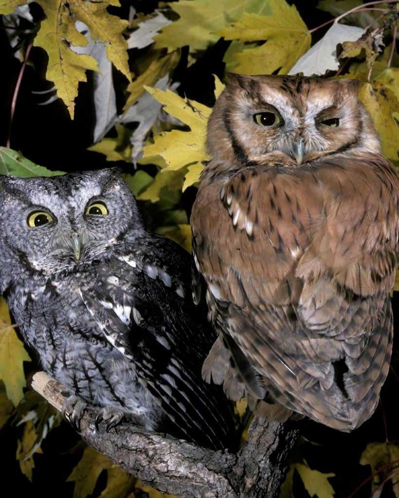 Eastern Screech-Owl (Y)