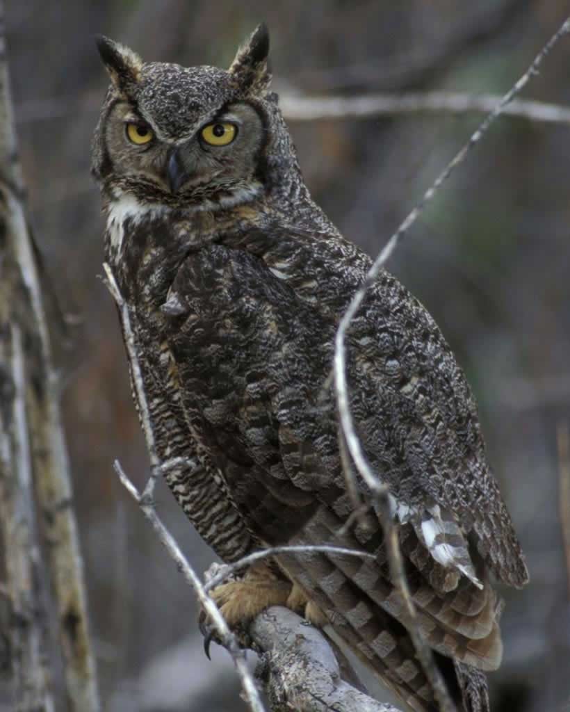Great Horned Owl (Y)