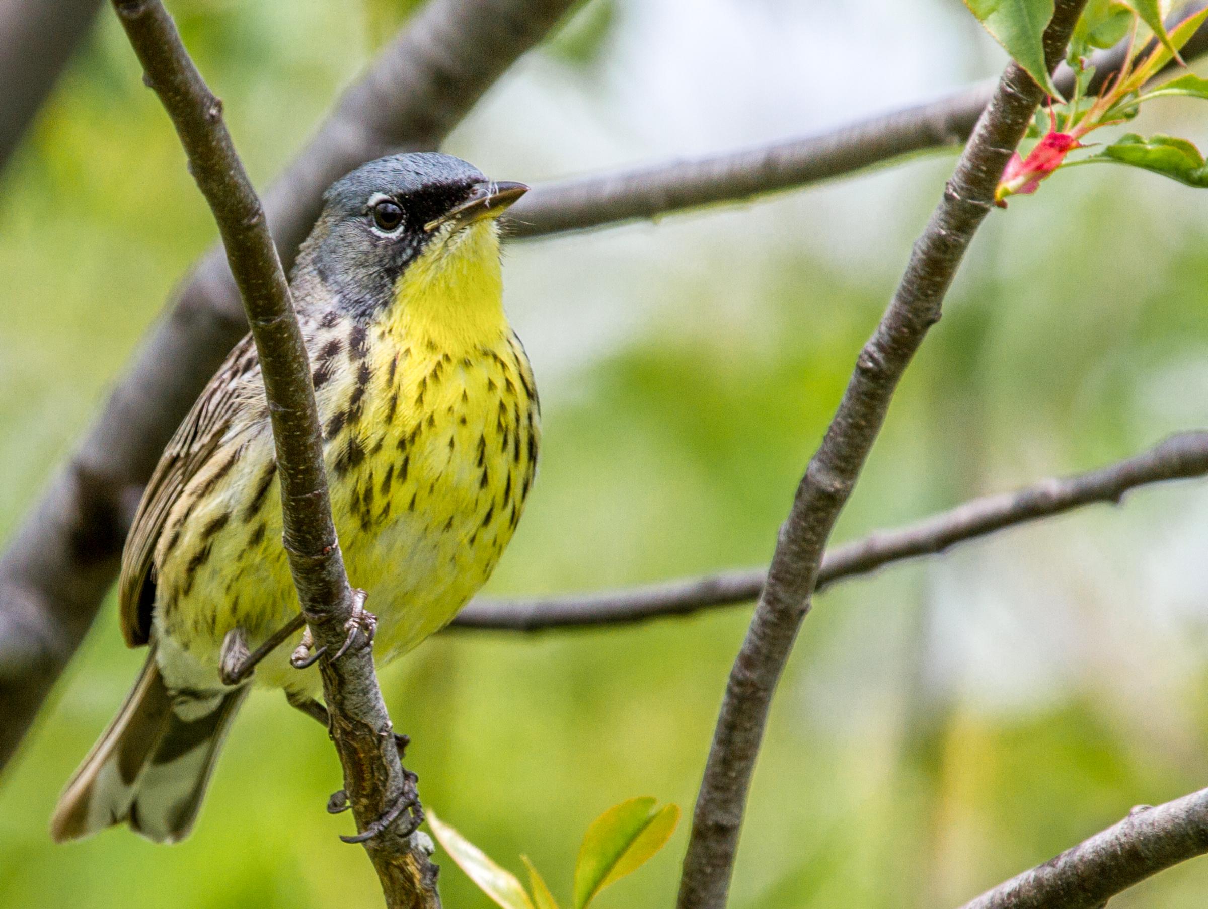 Kirtland's Warbler, Eric Fishel/Audubon Photography Awards