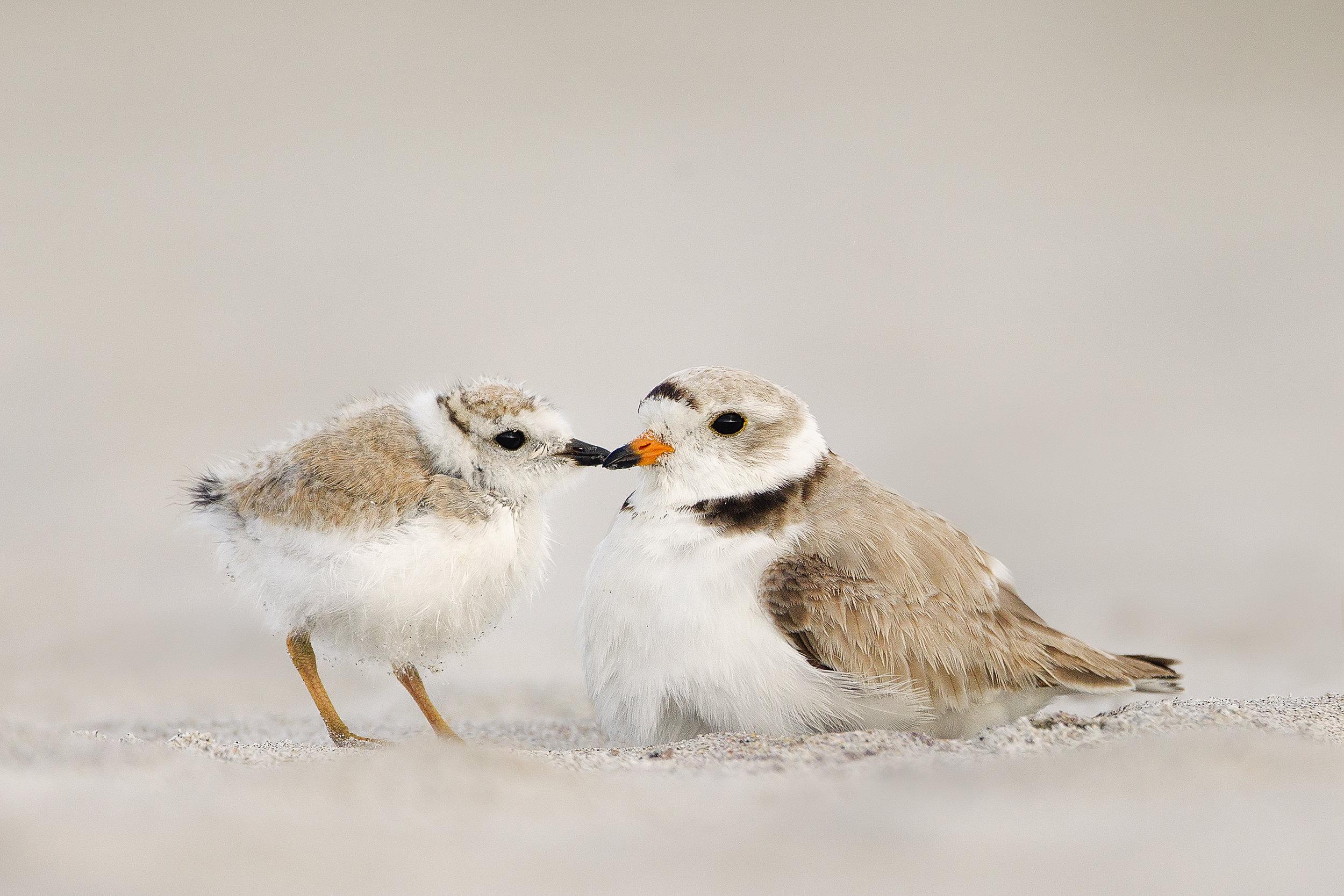 Piping Plover, Melissa Groo/Audubon Photography Awards