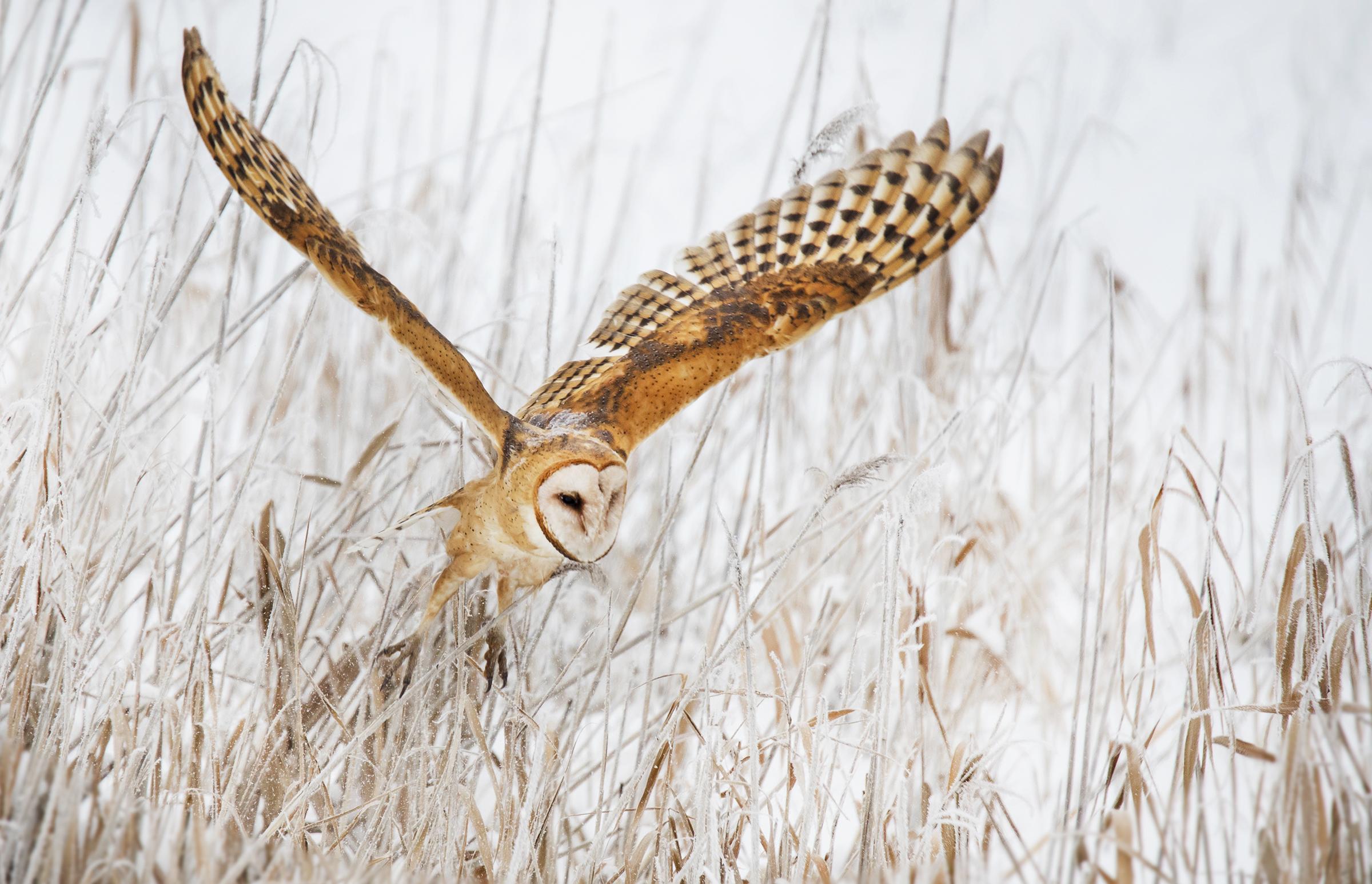 Barn Owl, Stacy Howell  Audubon Photography Awards