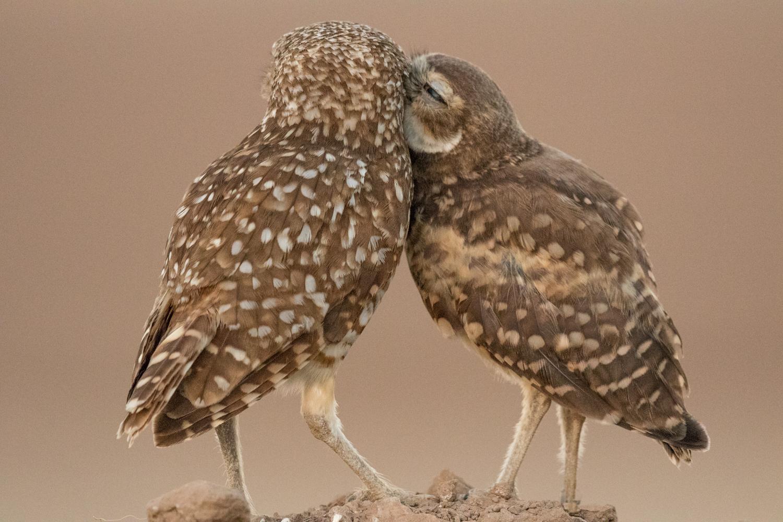 Burrowing Owls, Ann Kramer  Audubon Photography Awards