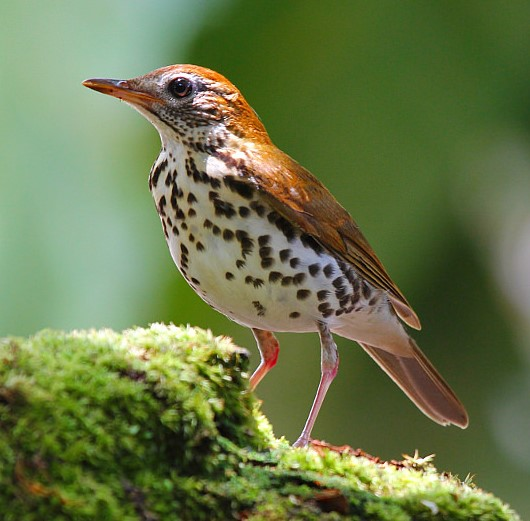 The Wood Thrush is particularly vulnerable to collisions with windows. Juan Zamora/Flickr CC by 2.0