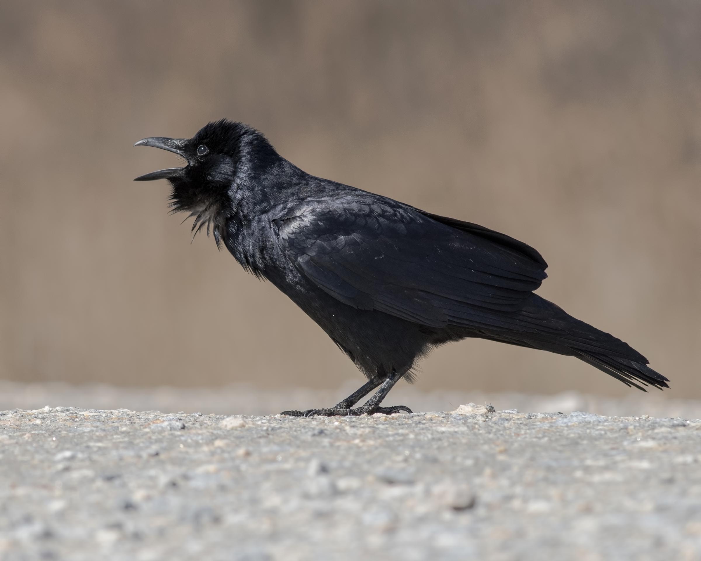 Fish Crow, Alejandra Lewandowski/Audubon Photography Awards