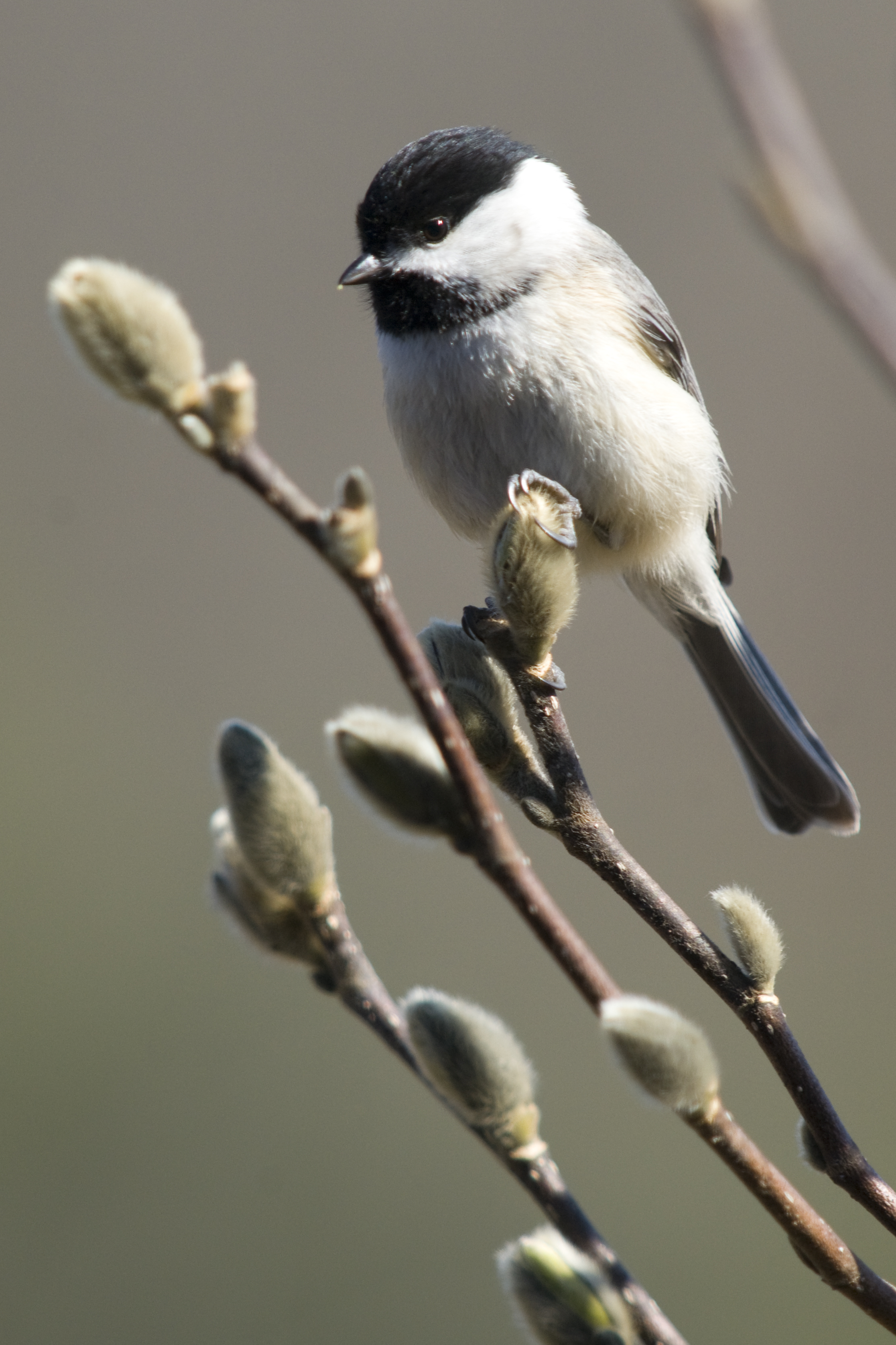Carolina Chickadee, Michele Black/Great Backyard Bird Count