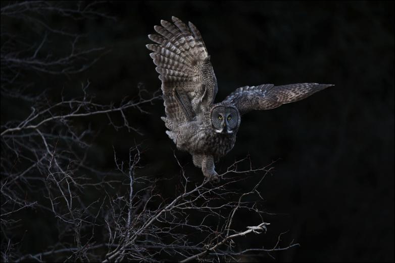 Grand Prize Winner - Great Gray Owl, Steve Mattheis