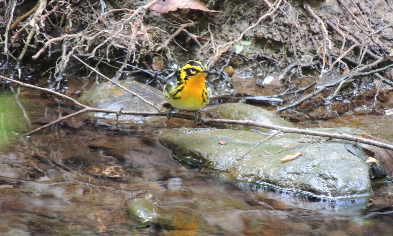 Blackburnian Warbler, William Young