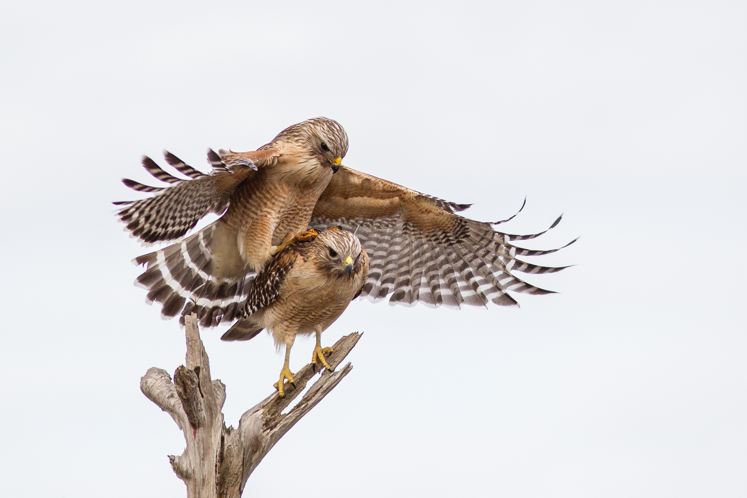 Red-shouldered Hawks, Linda Krueger/Audubon Photography Awards