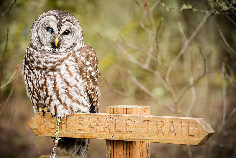 Morgan, a Sparred Owl, is help in captivity at Chintimini Wildlife Center in Corvallis, Oregon. Photo courtesy of Chintimini Wildlife Center
