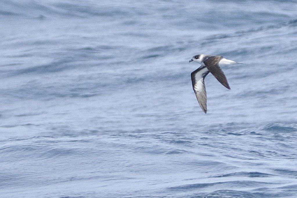 Black-capped Petrel, Eric Bowles via  Flickr