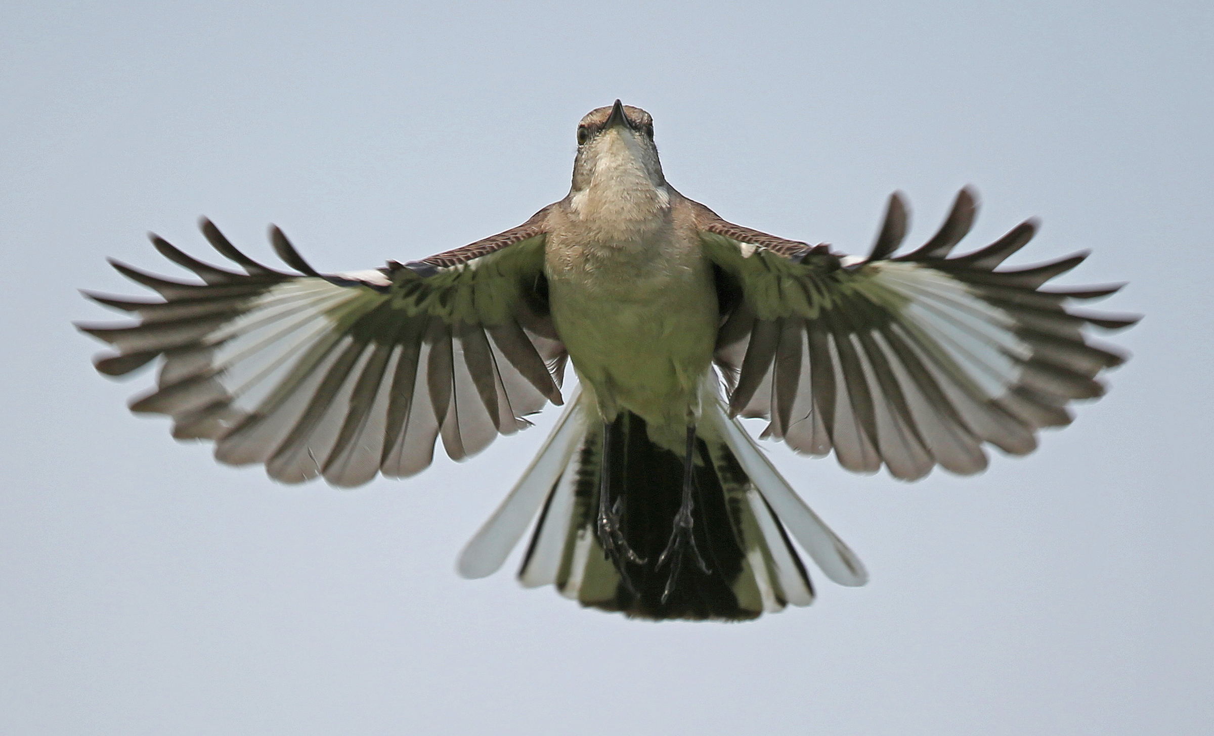 Northern Mockingbird, Anthony Goldman
