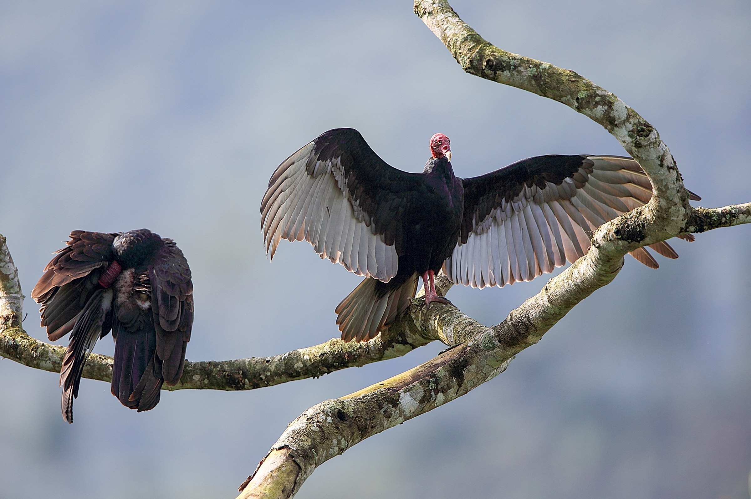 Vernal Vultures/Lou Orr