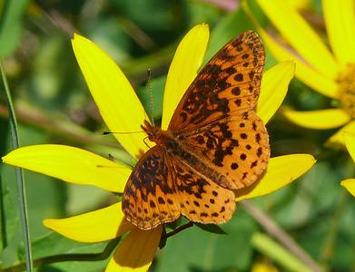 Meadow Fritillary, Larry Meade