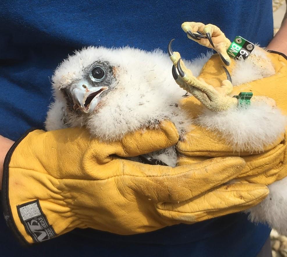 Banding Peregrine Falcon Chicks, Robin Duska