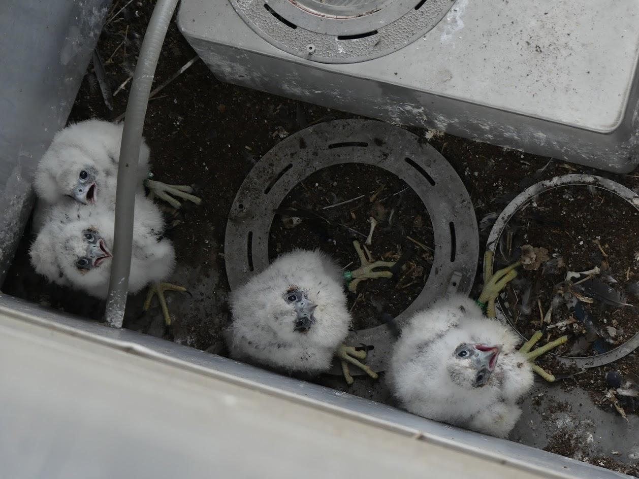 Peregrine Falcon Chicks, Robin Duska
