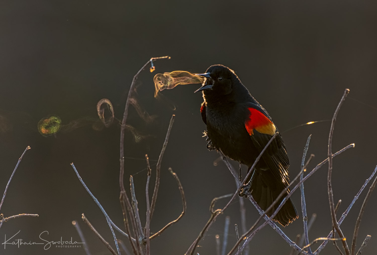 Red-winged Blackbird, Kathrin Swoboda/Audubon Photography Awards