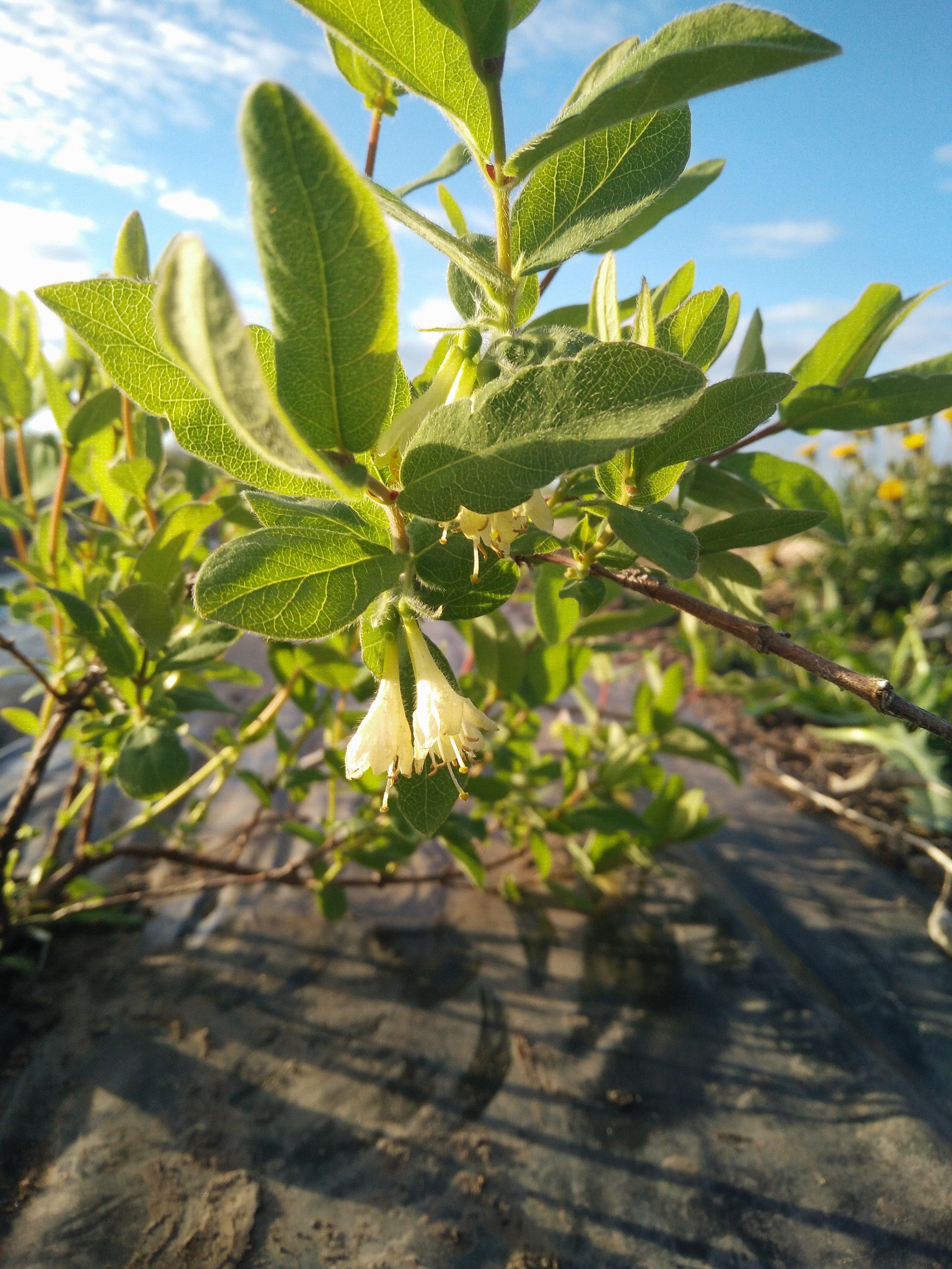 Rosy Farms Haskap Flower