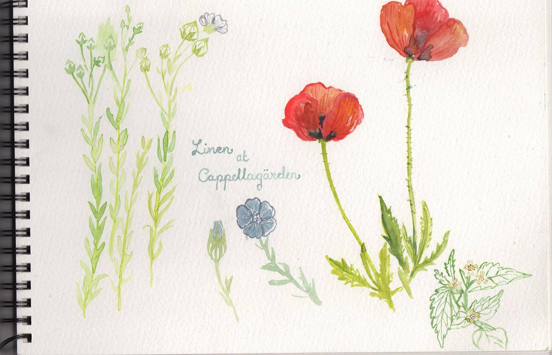 Watercolour study -Poppies