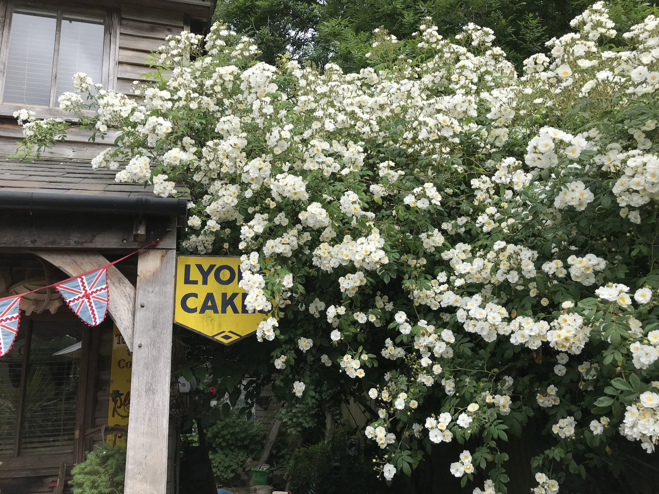 Our beautiful Rambling Rector Rose which grows right outside our workshop at Dandelion Designs headquarters.