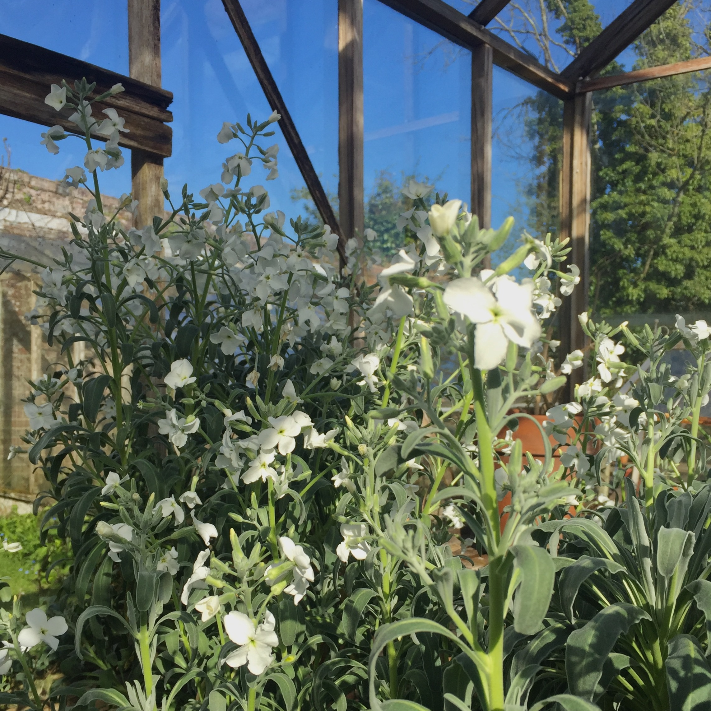 The Stocks in my greenhouse fill it with scent - fabulous!