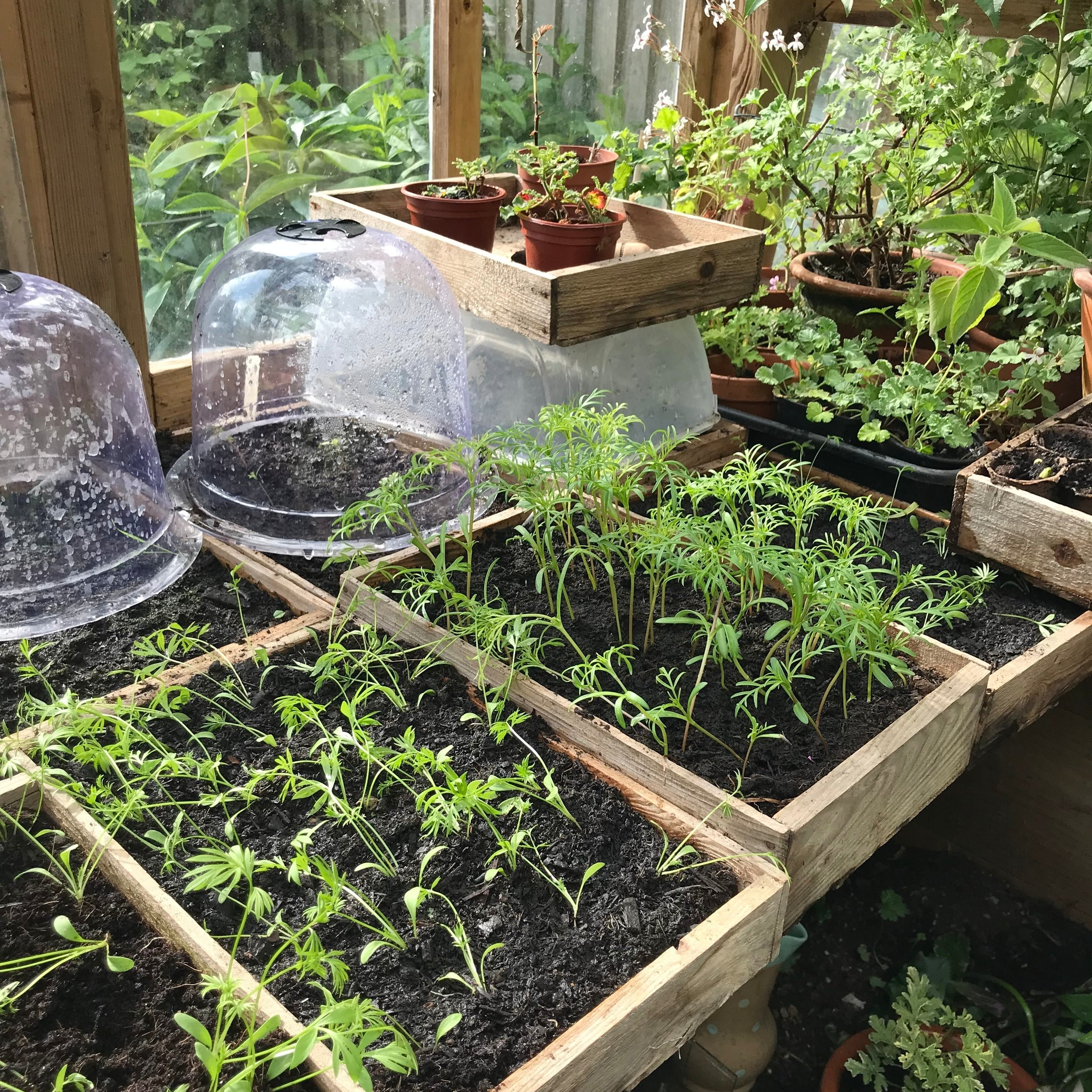 Mandy's Greenhouse is full of seedlings ready to go out into the big wide world.