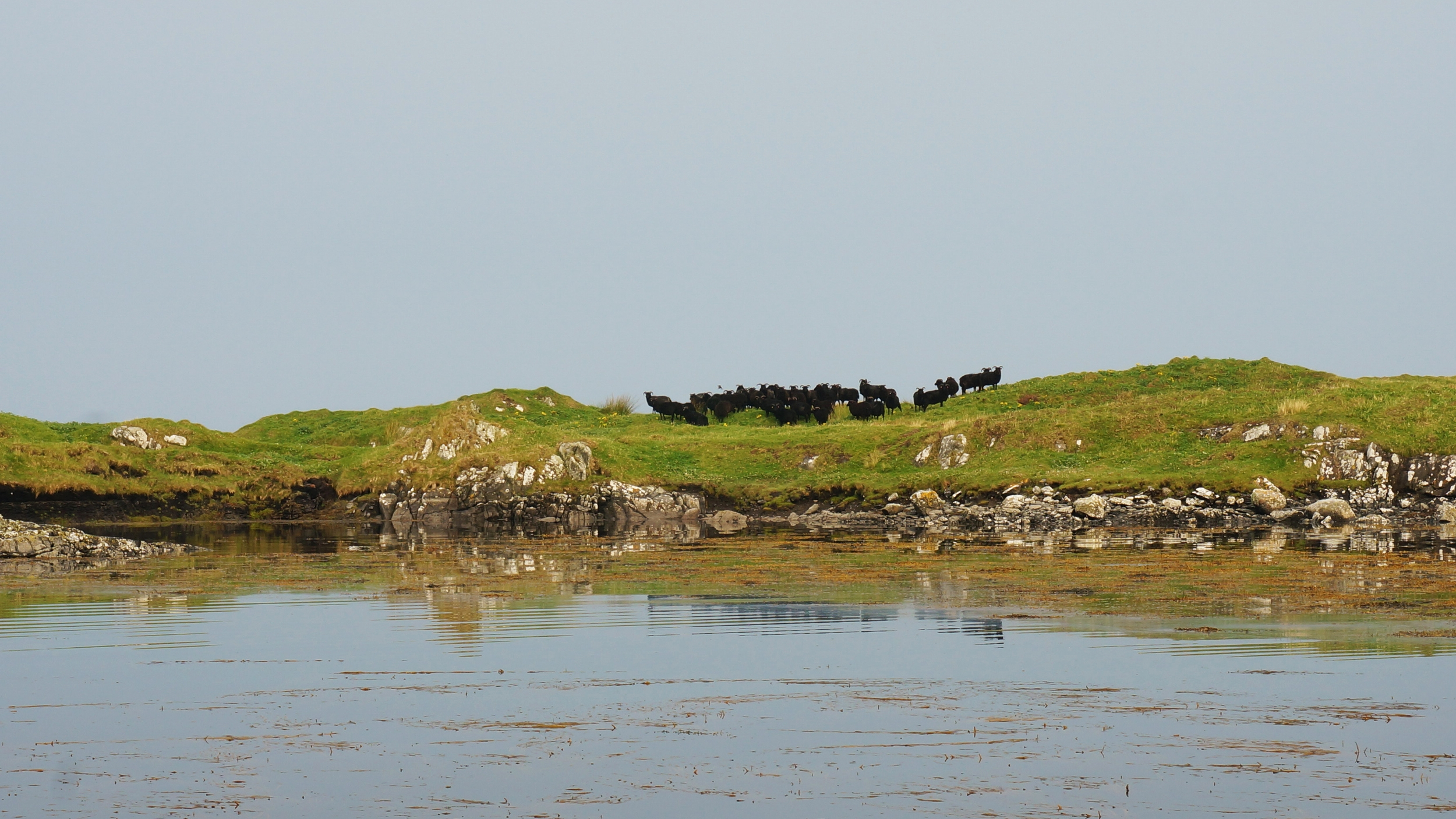 Flock of sheep on uninhabited island