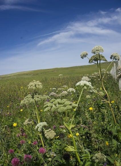 Berneray machair summer flowers.