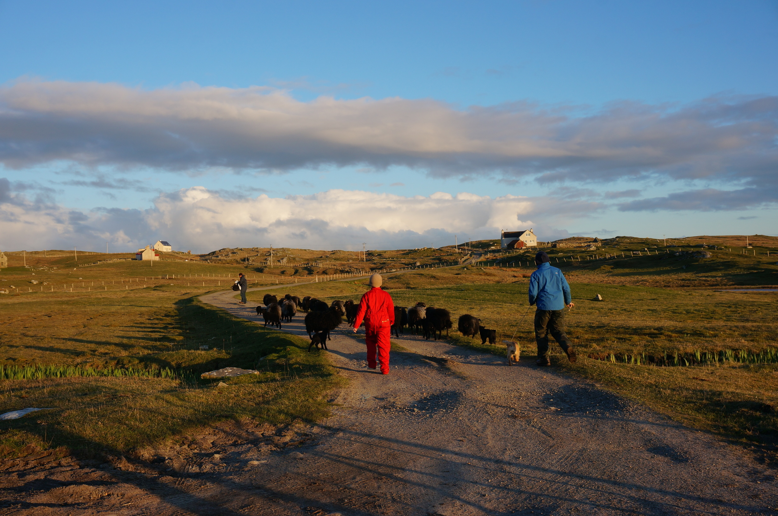 Walking the ewes and lambs home from the machair to the croft.