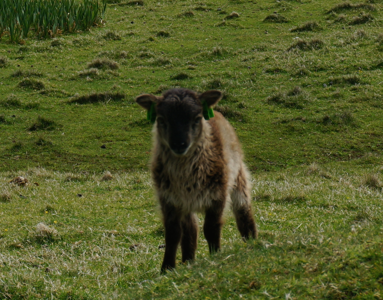 Soay lamb.