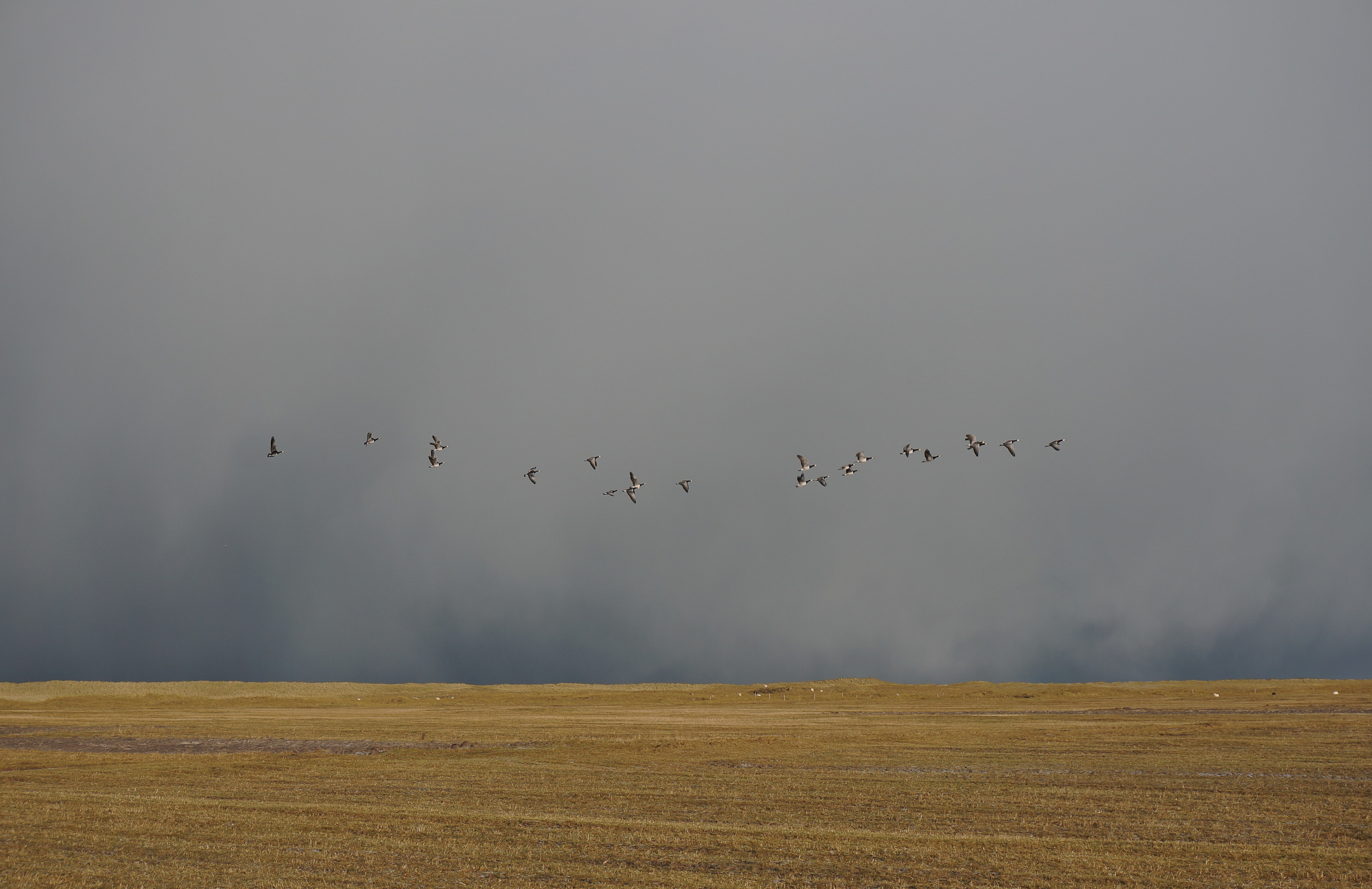The arrival of barnacle geese on Berneray machair.