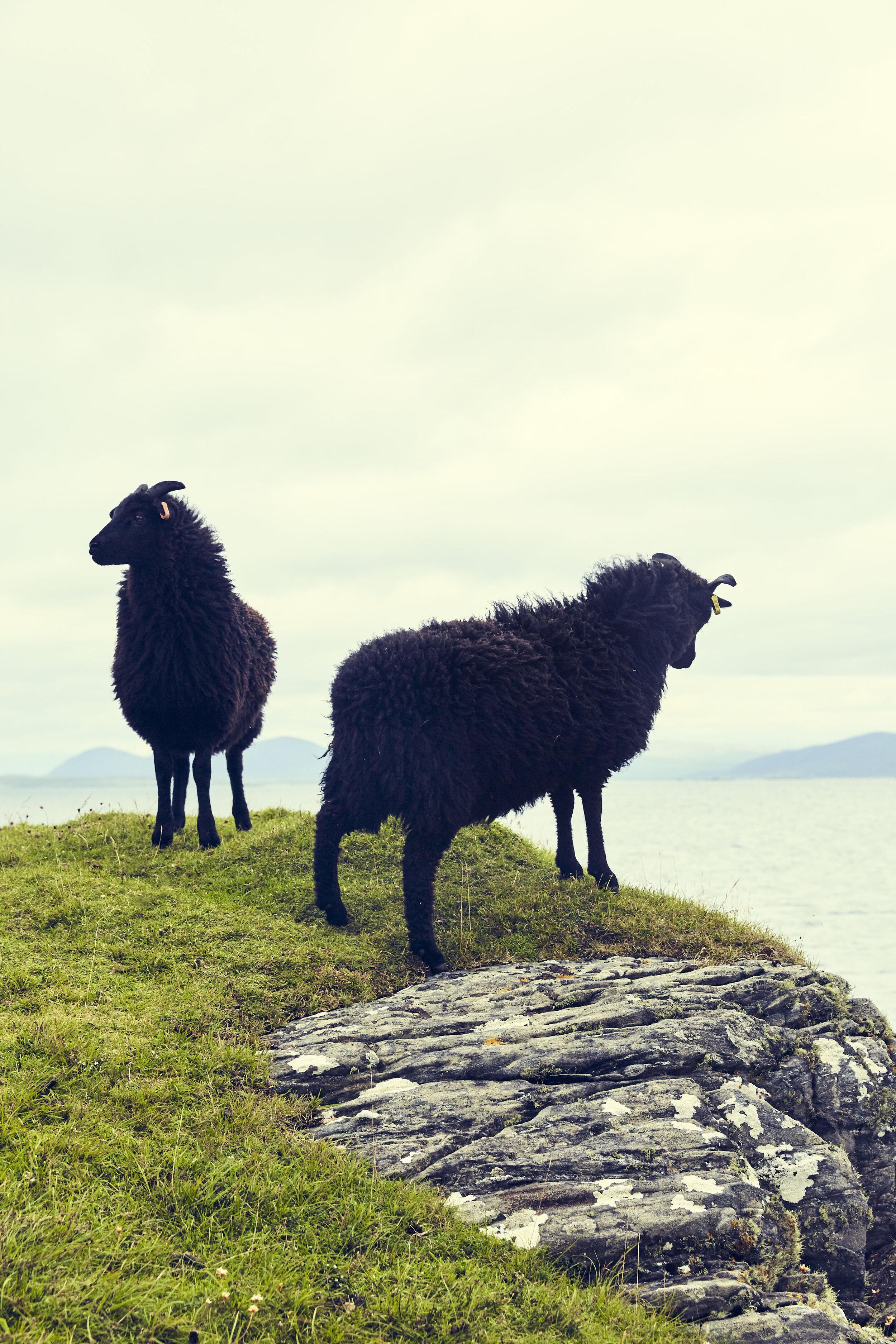 Hebridean lambs.