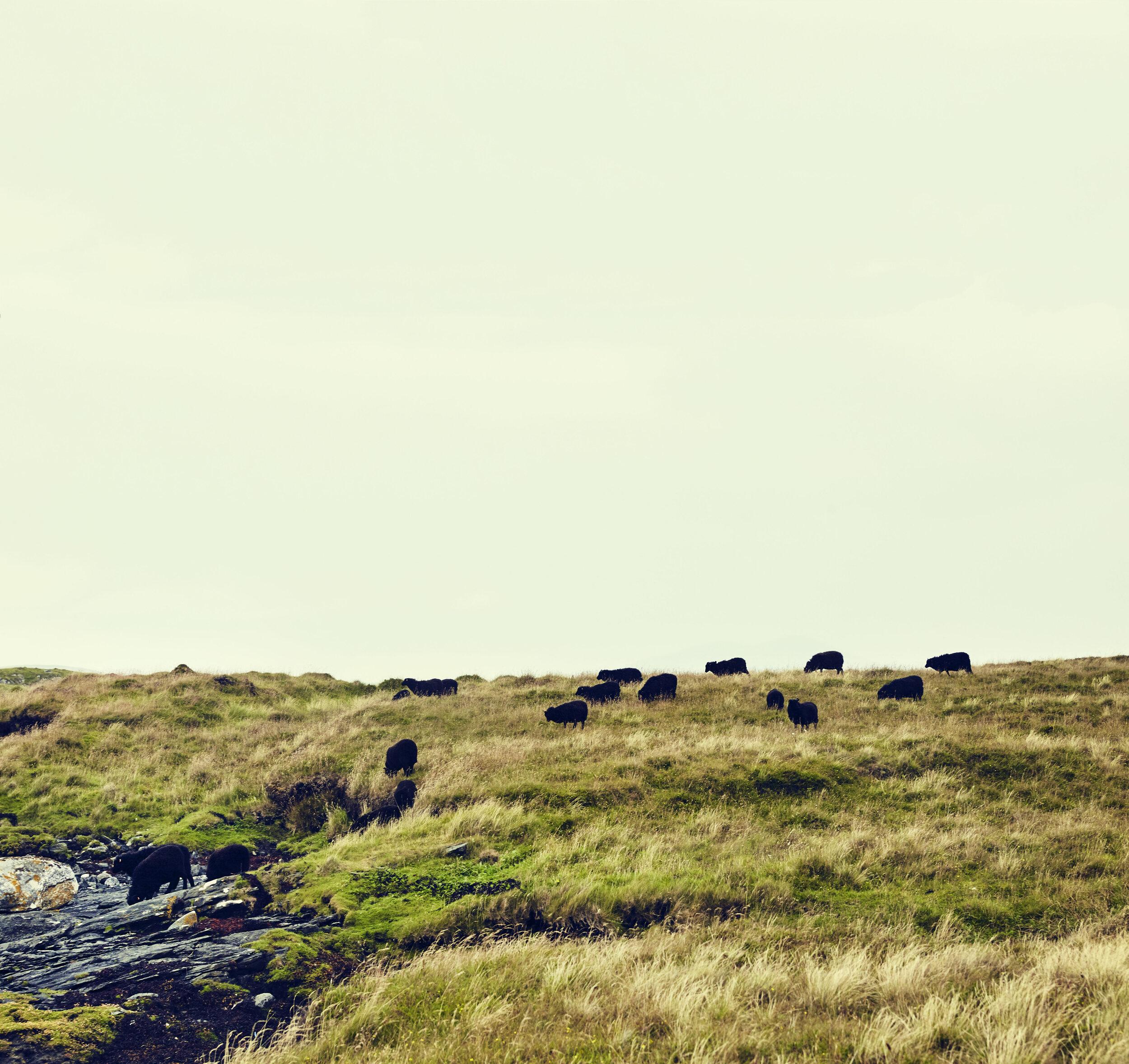 Weaned lambs on Votersay island.