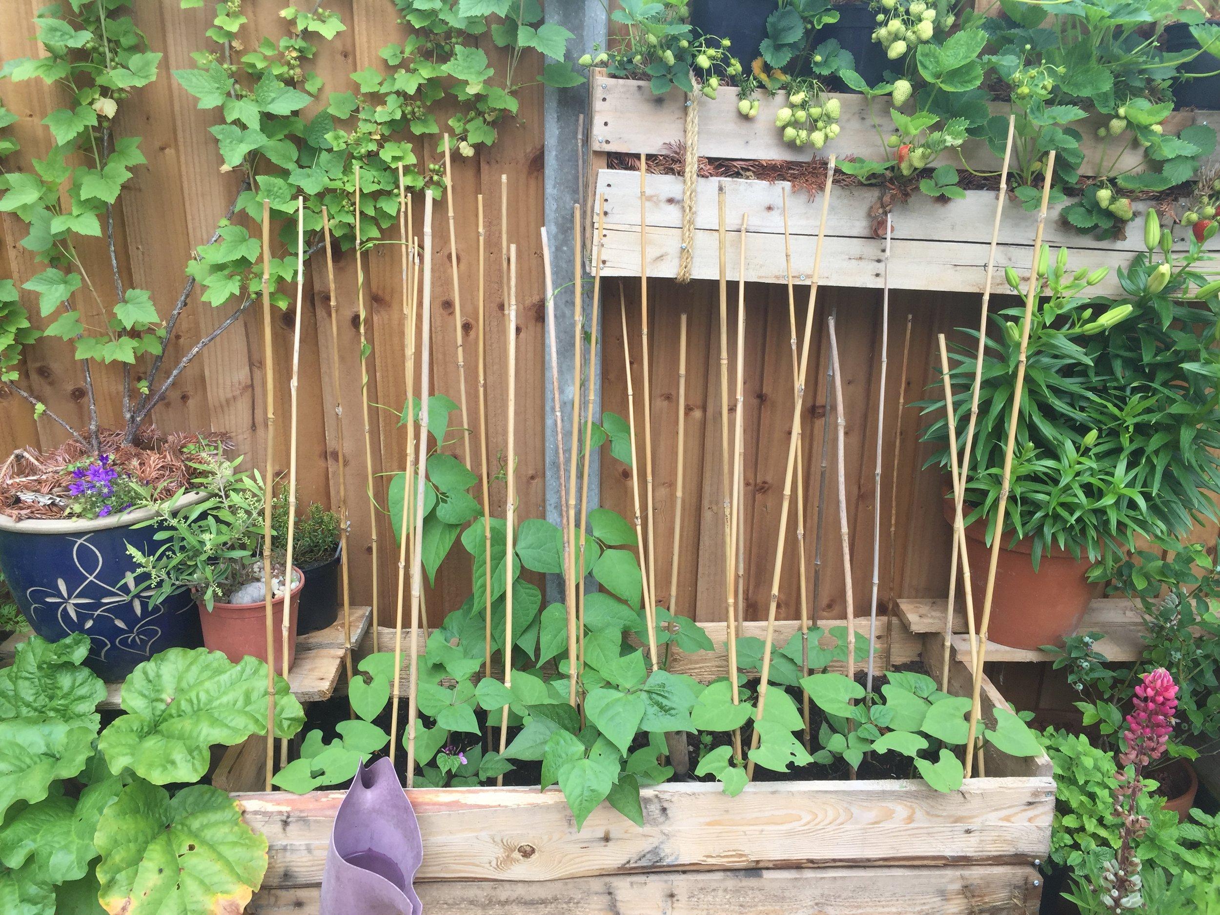purple queen beans diy garden