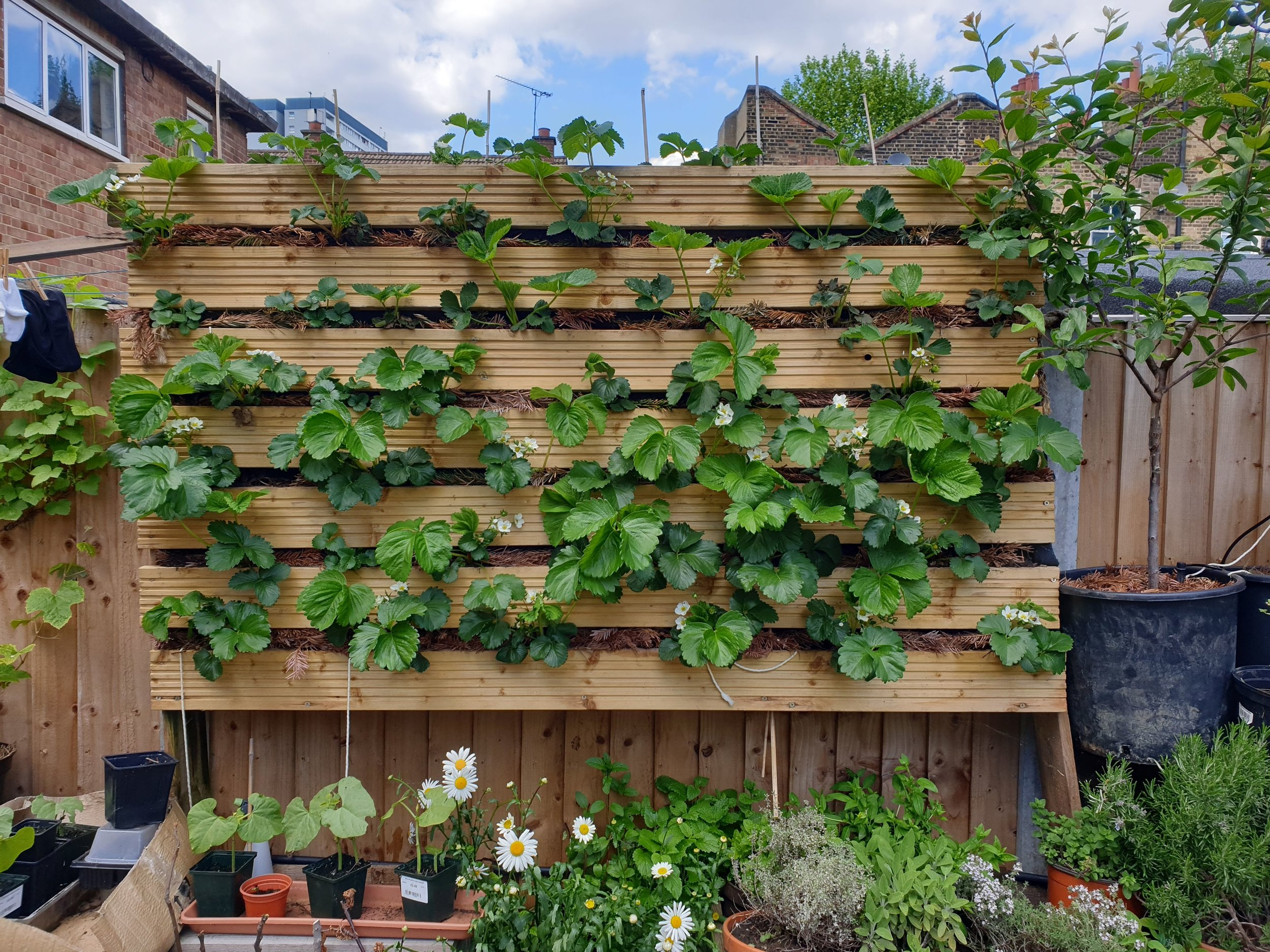 Our vertical strawberry planter, with 40 plants.