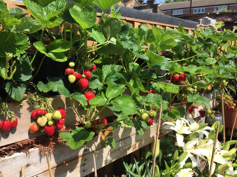 strawberry+planter.jpeg