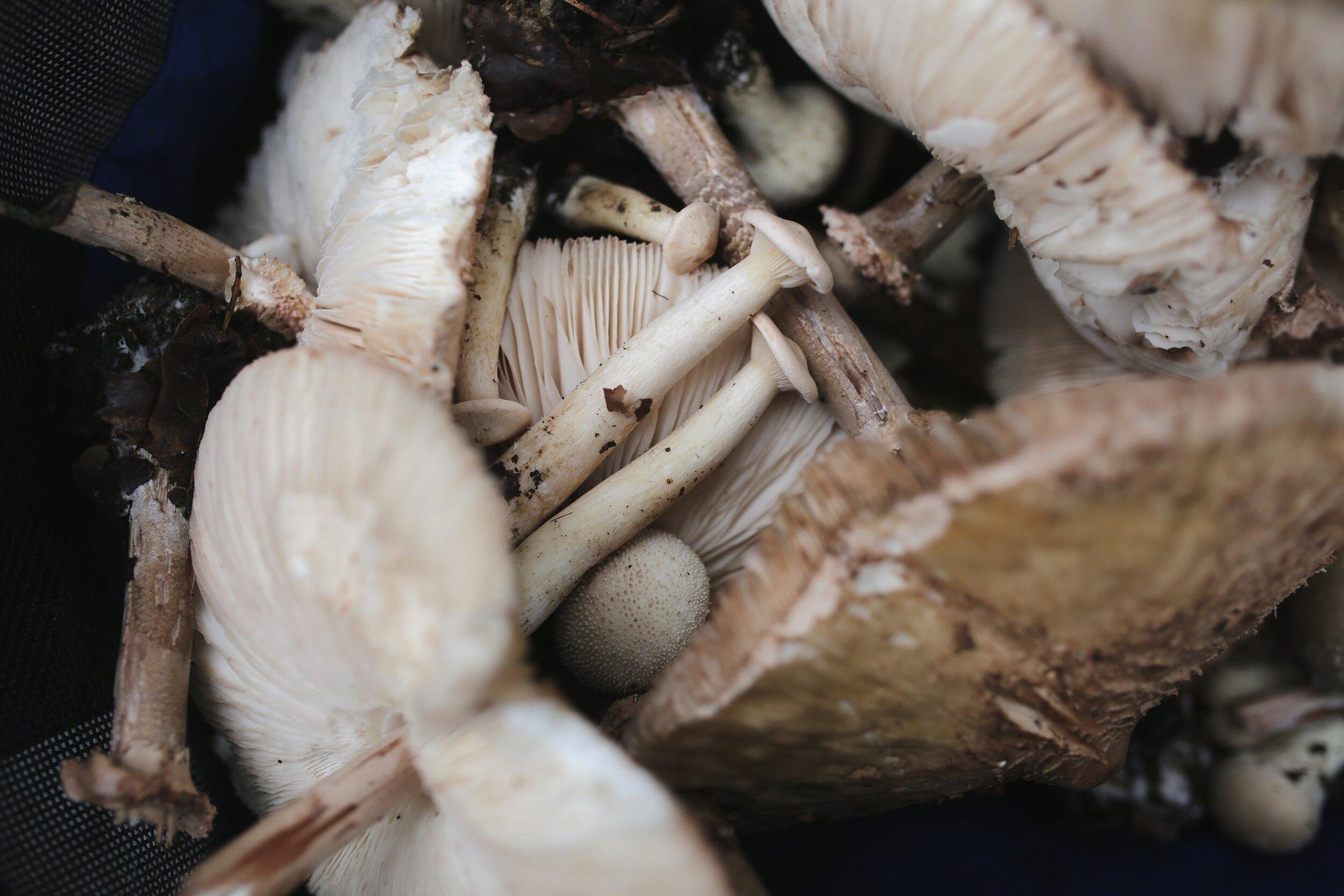Carluccio's mushroom picking