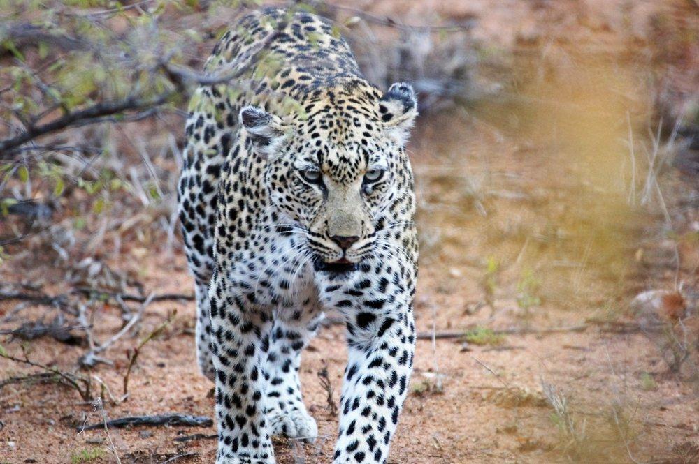 blog leopard Shamanism, Shaman, African Shaman, Sangoma, John Lockley.jpg