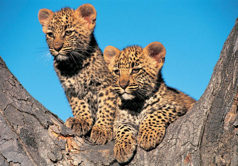 Leopard-Cubs.jpg