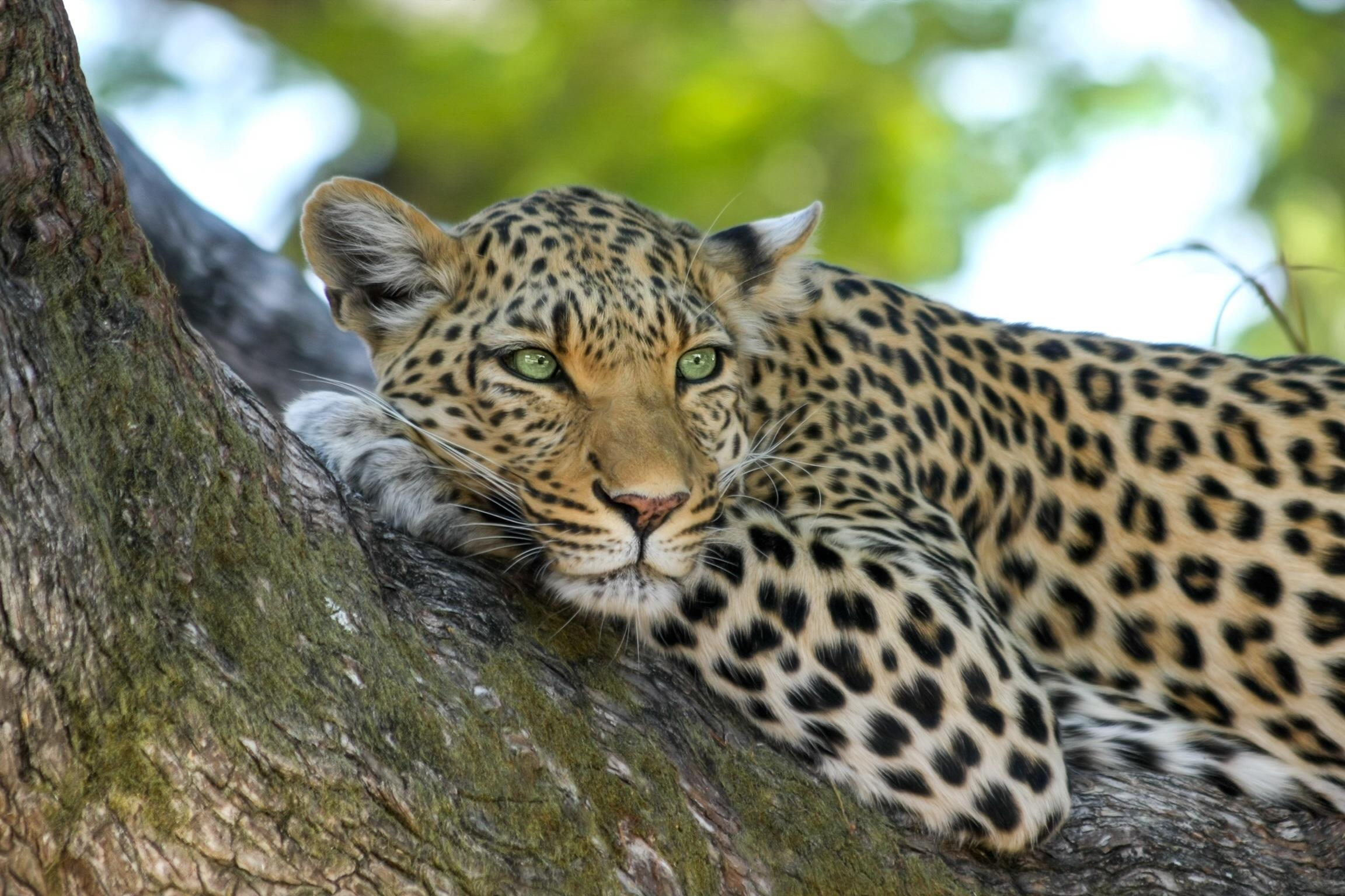 leopard-wildcat-big-cat-botswana-46254.jpeg