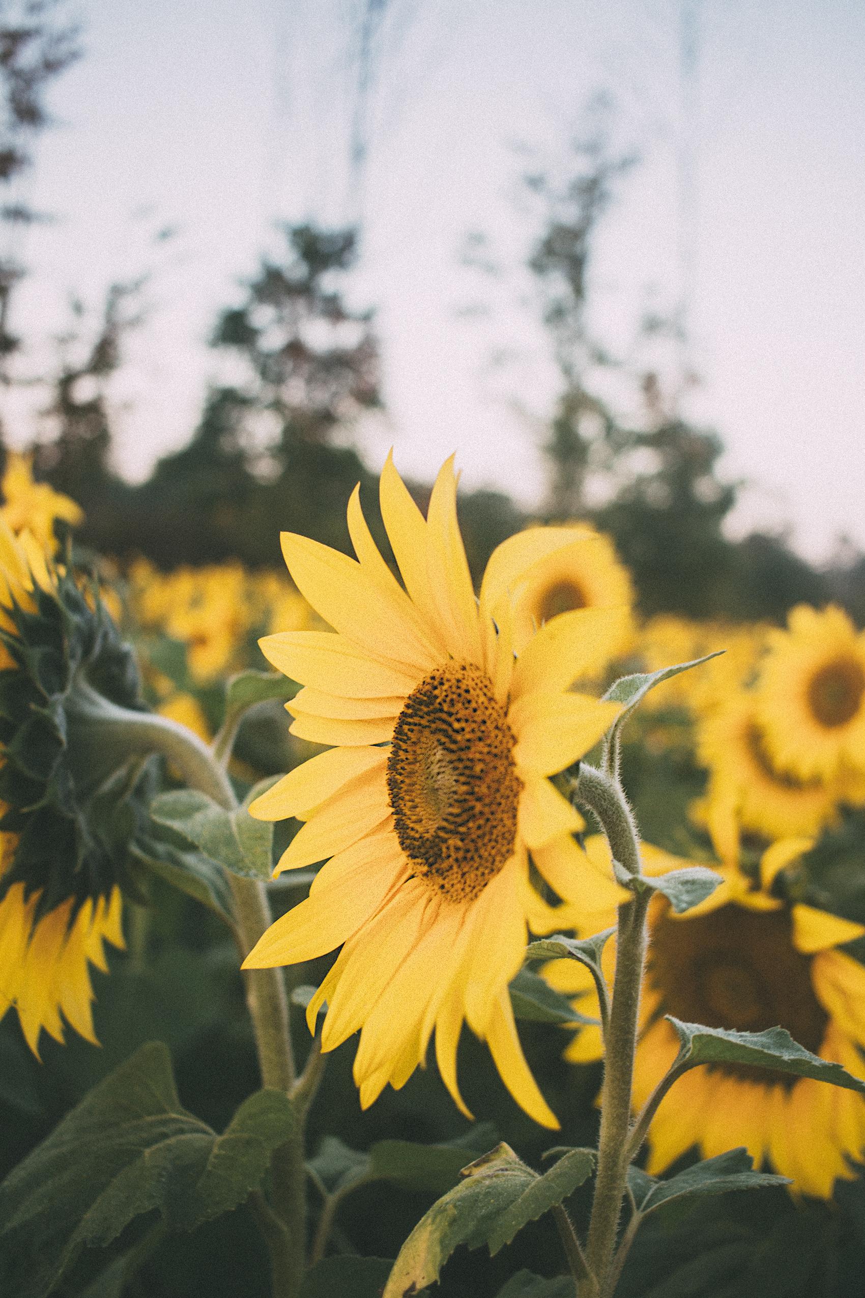 AvonOHSunflowers_09232017_090.jpg